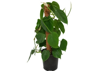 17cm Philodendron Cordatum Variety Thumbnail.jpg