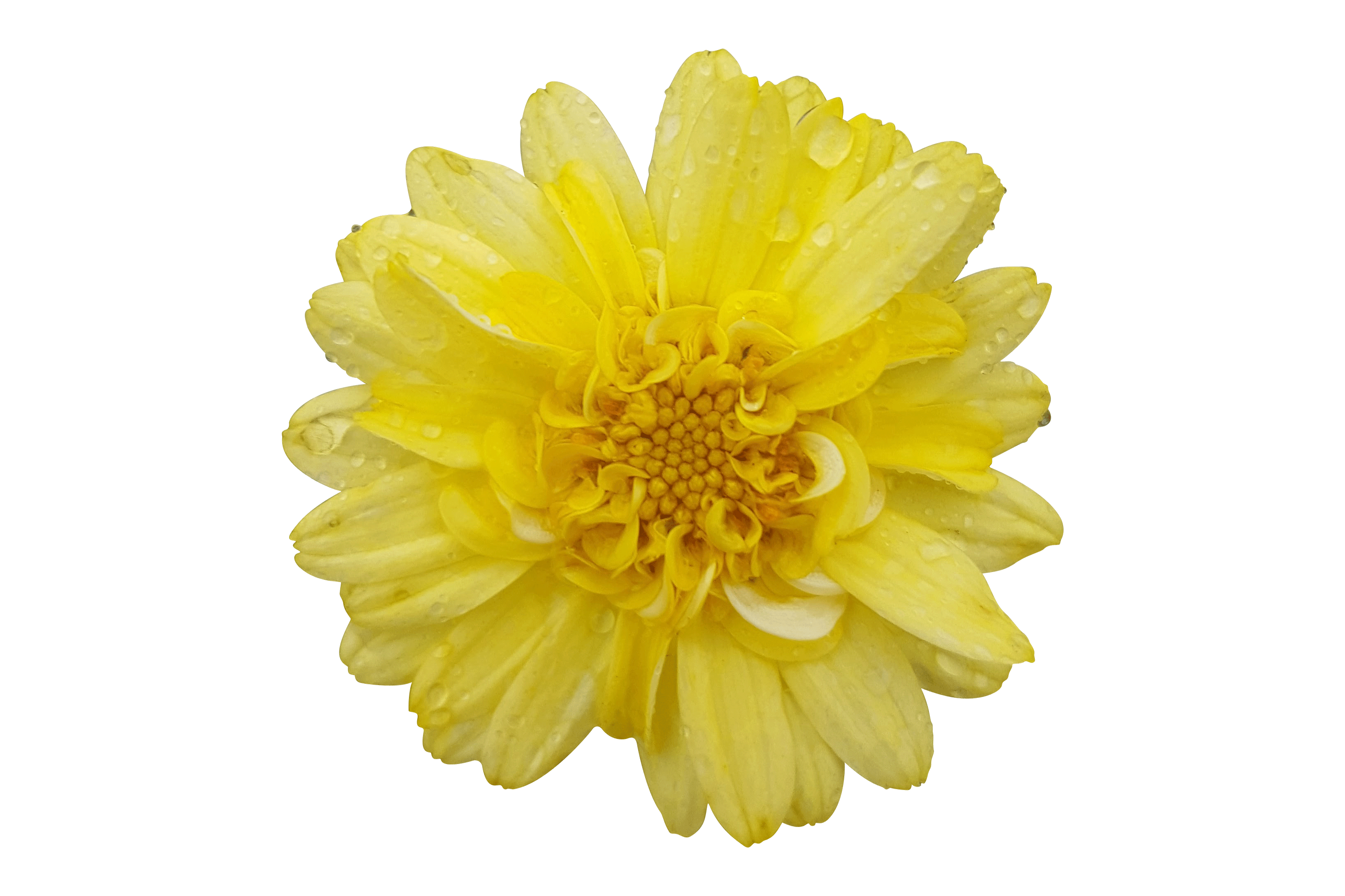 Argyranthemum-Angelic-Maize.png