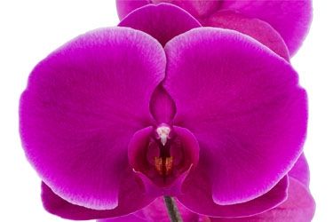Orchid Variety Thumbnail Pinks and Purples.jpg