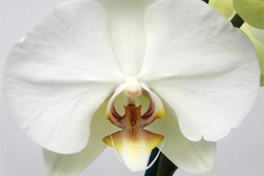 Orchid Variety Thumbnail White Yellow Throat.jpg