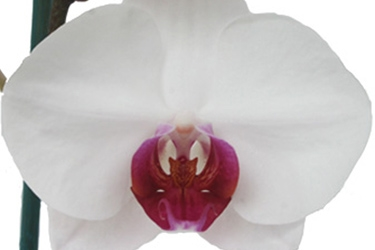 Orchid Variety Thumbnail White with red throat.jpg
