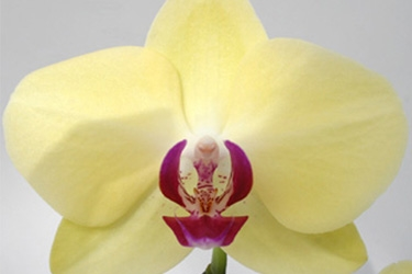 Orchid Variety Thumbnail Yellows.jpg