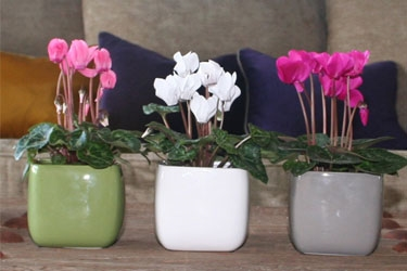 Table Top Cyclamen in Ceramic Variety Thumbnail.jpg