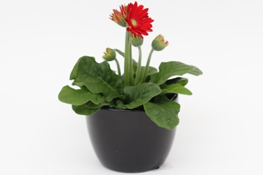Table Top Gerbera in Ceramic Variety Thumbnail.jpg