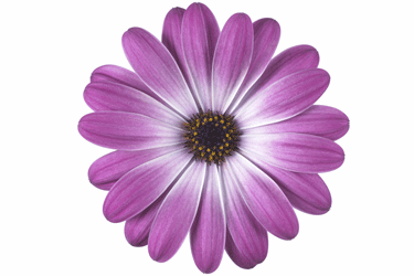 osteospermum-pink-flare.png
